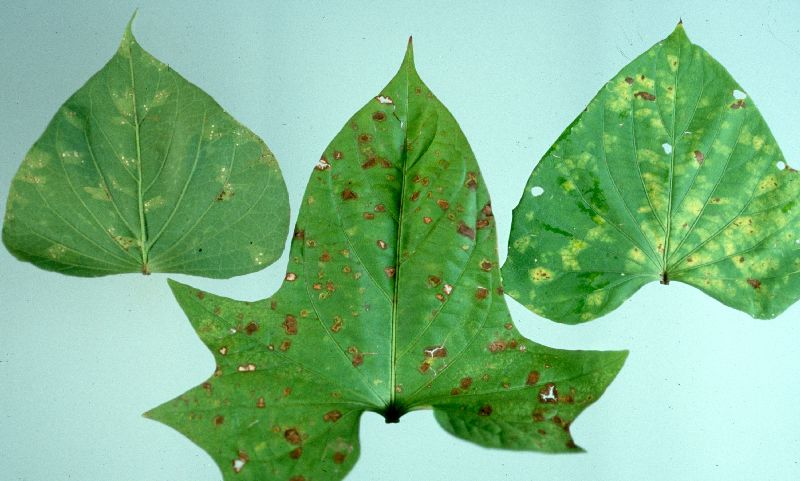 Chlorotic patches and lesions at various stages of development c