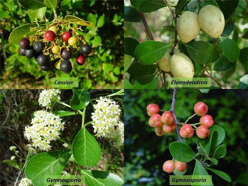 Factsheet Celastraceae