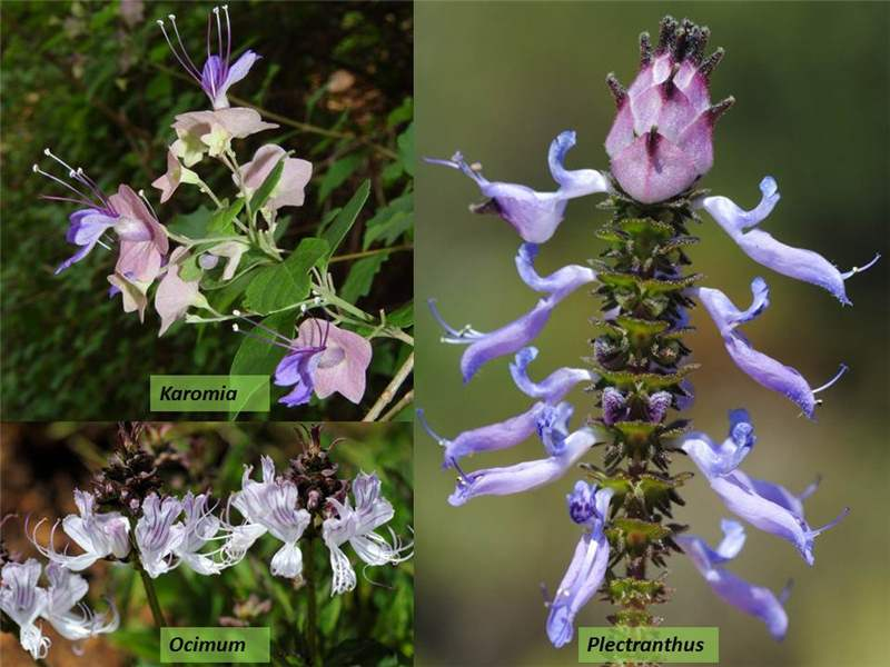 Factsheet -Lamiaceae