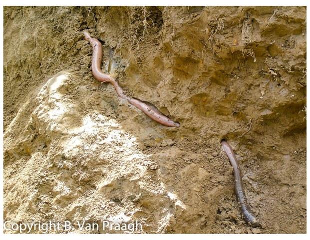 Giant Australian Earthworm Order Megadrilacea