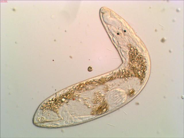 phylum platyhelminthes kép