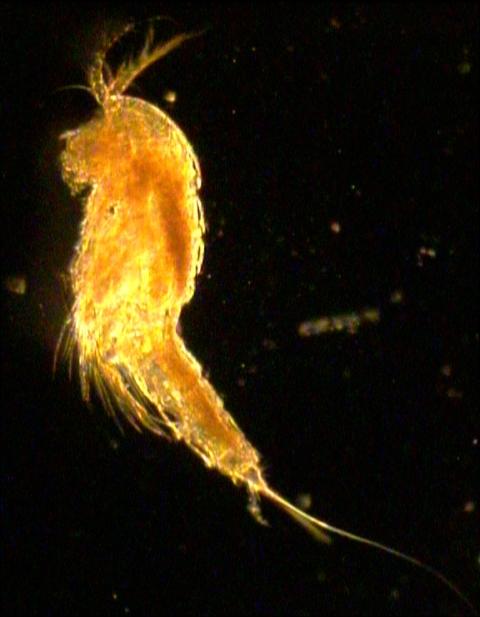 Subclass copepoda for Freshwater fish parasite identification