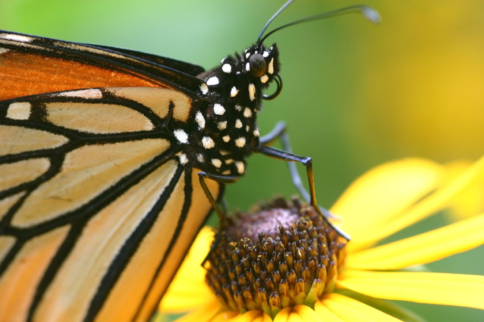 monarch butterflies coevolution with milkweed essay Essay on monarch butterfly 1002 words   5 pages the monarch butterfly, as known as danaus plexippus, is often called the milkweed butterfly because its larvae eat the milkweed plant.