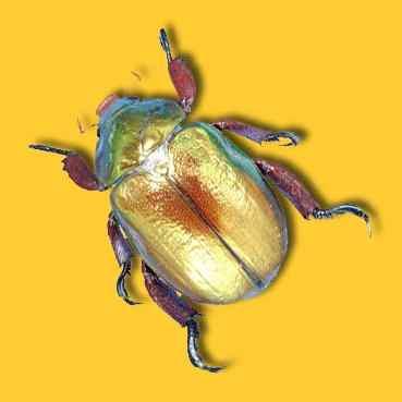 Christmas Beetle.Key To Christmas Beetles Of Nsw