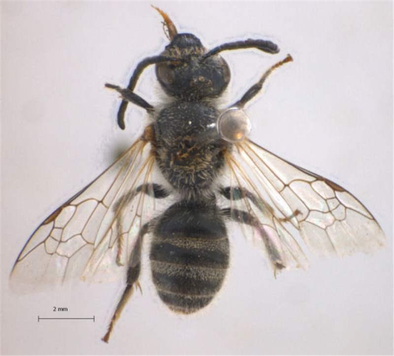Factsheet Lasioglossum Bees