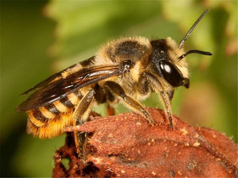 Factsheet - Megachile bees