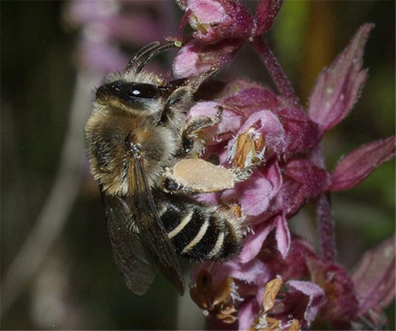 Factsheet Mellita Bees