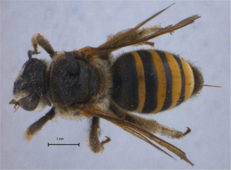 african bees