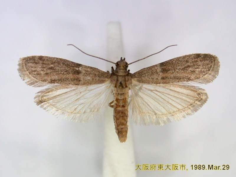 Factsheet Cadra Cautella Walker 1863 Tropical