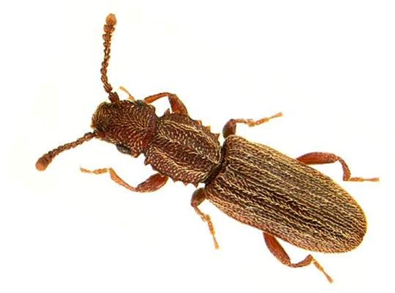Saw Toothed Grain Beetle Larvae