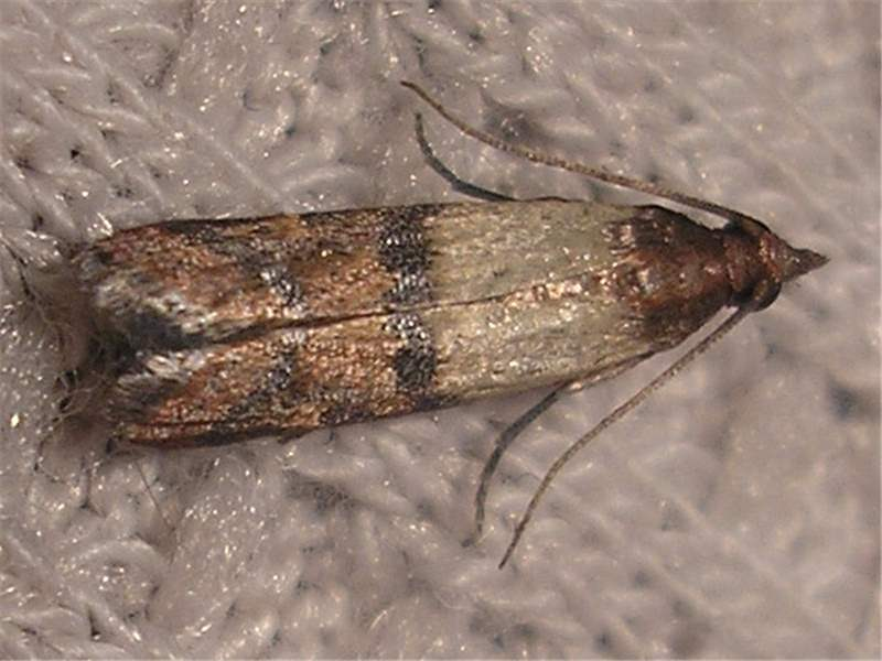 Factsheet plodia interpunctella hubner 1813 indian for Pantry moths