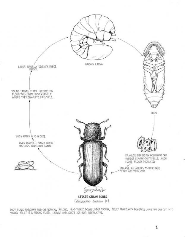 how to get rid of maize weevil