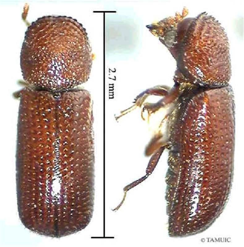 Image result for LESSER GRAIN BORER(Rhyzopertha dominica)