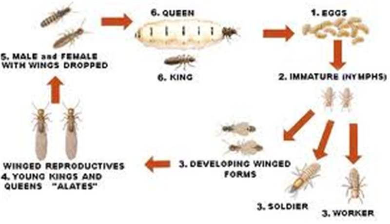 Termites  Generalised lifecycle  Source  http   www    Queen Termite Life Cycle