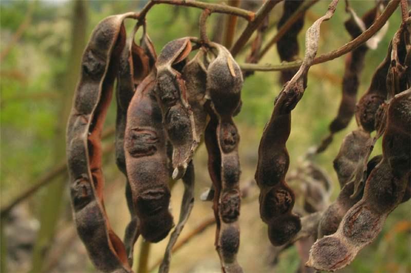 Factsheet Acacia Mearnsii Black Wattle