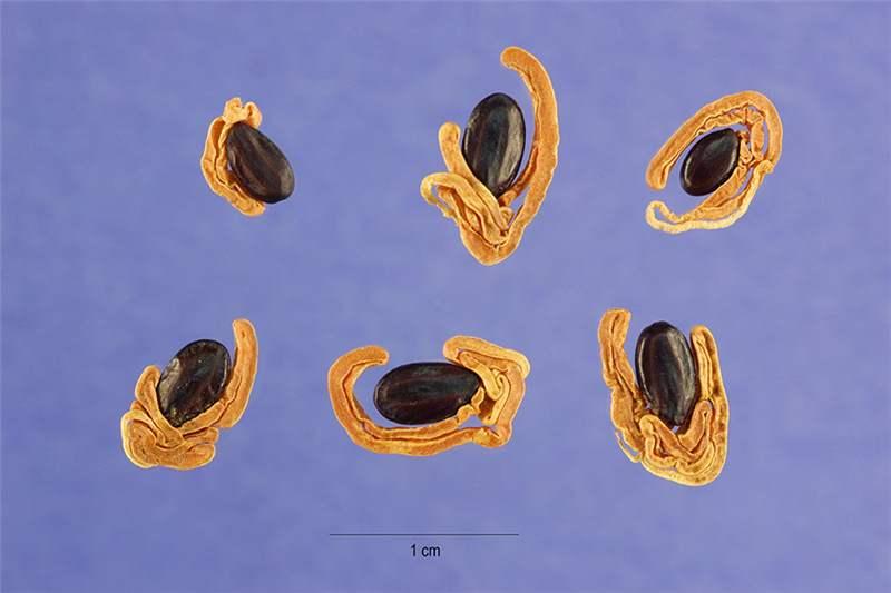 Factsheet Acacia Melanoxylon Australian Blackwood