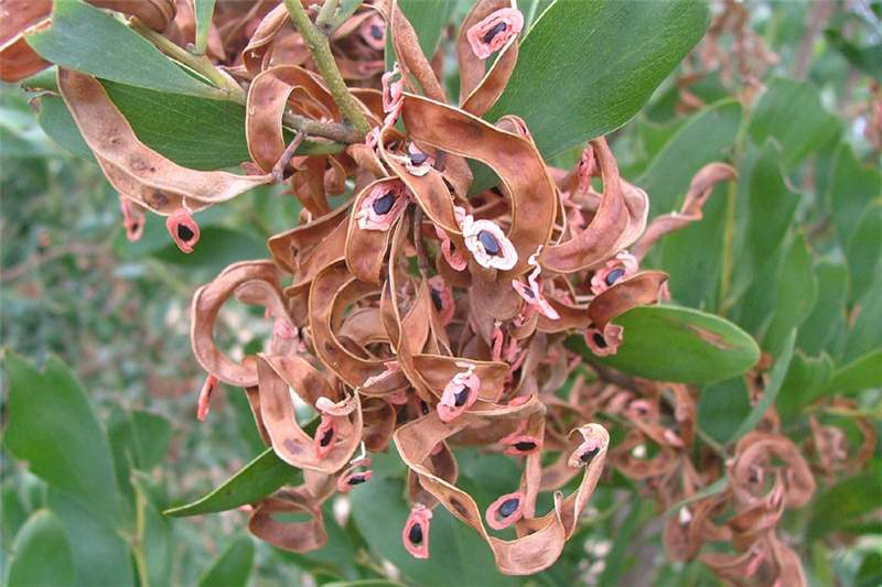 how to grow australian boab tree from seeds