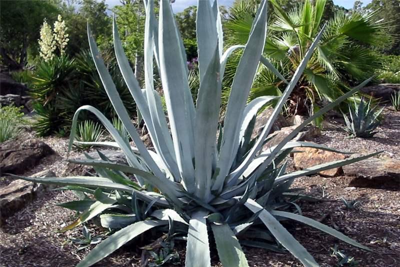 Factsheet Agave Americana Century Plant