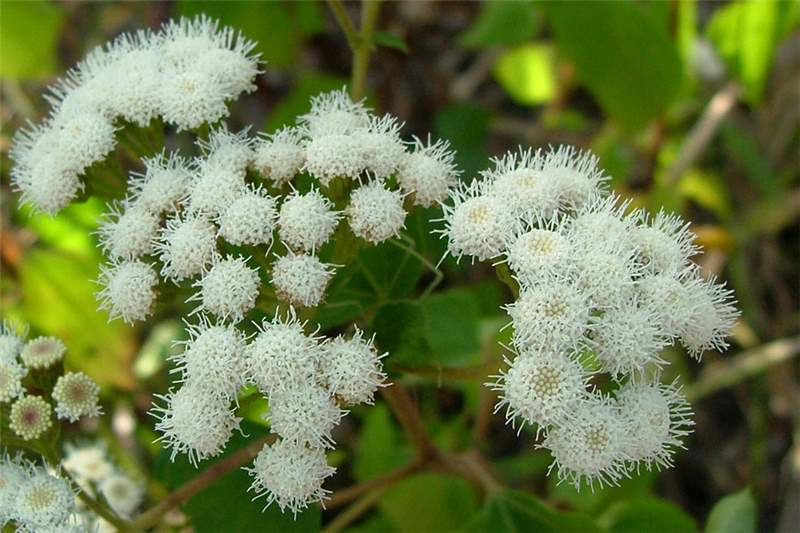 Factsheet ageratina adenophora crofton weed the small white flower heads are borne in dense clusters photo sheldon navie mightylinksfo Choice Image