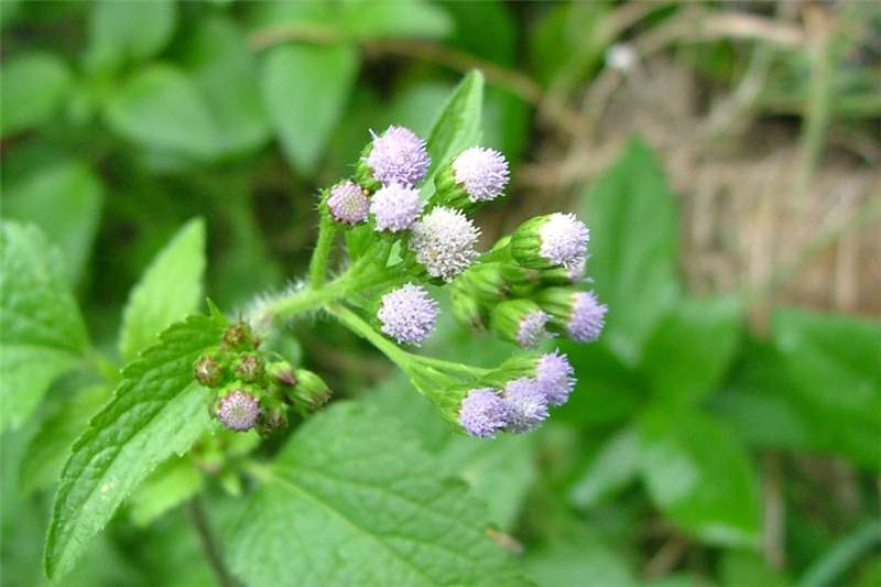 Factsheet Ageratum Conyzoides Billygoat Weed