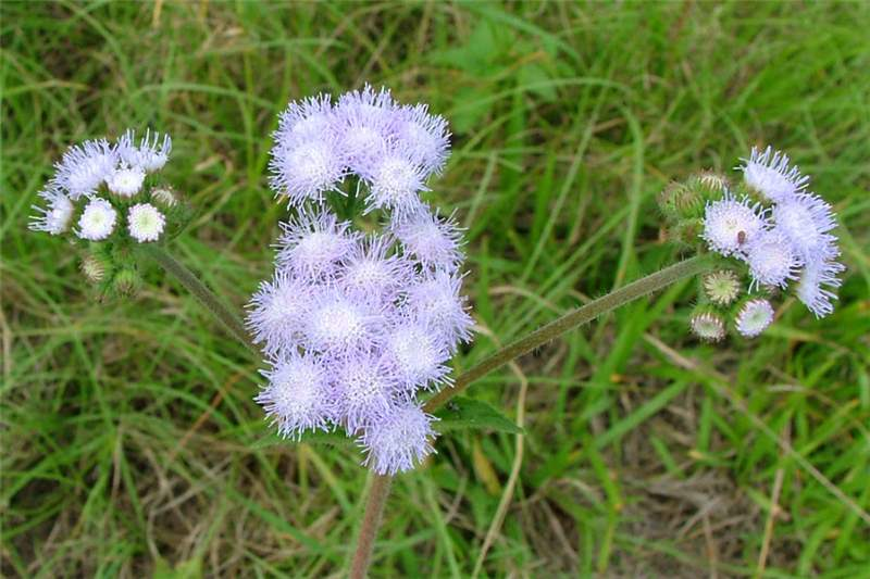 Factsheet ageratum houstonianum blue billygoat weed branched clusters of flower heads at the tips of the stems photo sheldon navie mightylinksfo