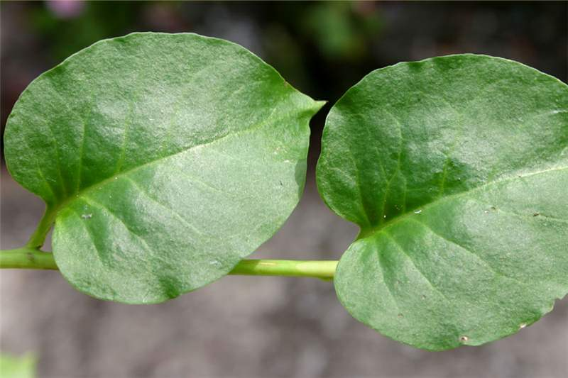 Mexican plant heart leaves pleasure plant