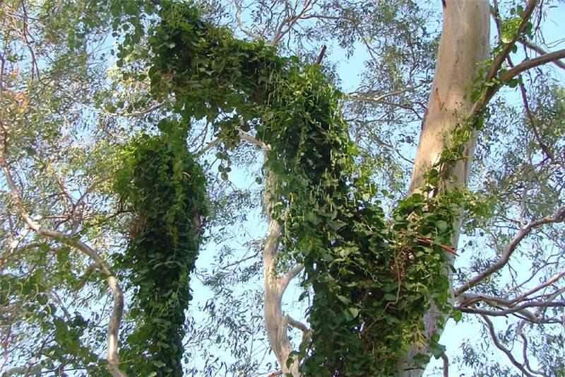 Factsheet Anredera Cordifolia Madeira Vine