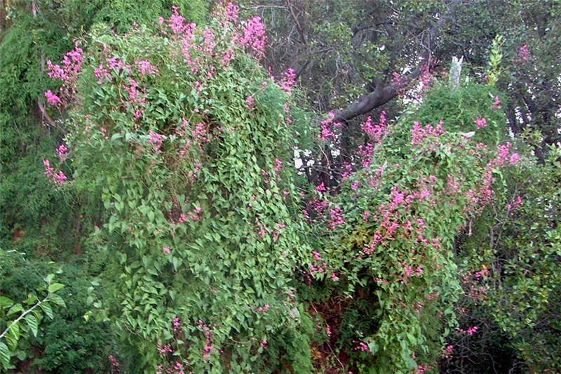 Factsheet antigonon leptopus coral creeper infestation showing climbing habit photo sheldon navie mightylinksfo