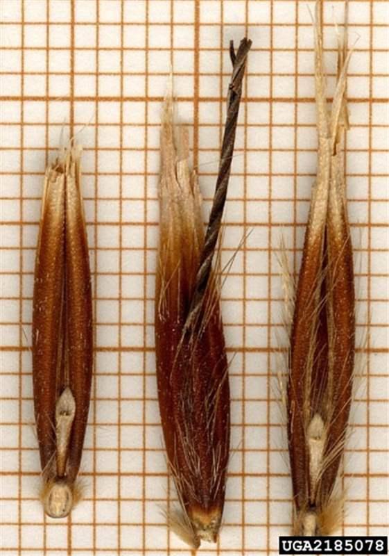 Factsheet - Avena fatua (Common Wild Oat)