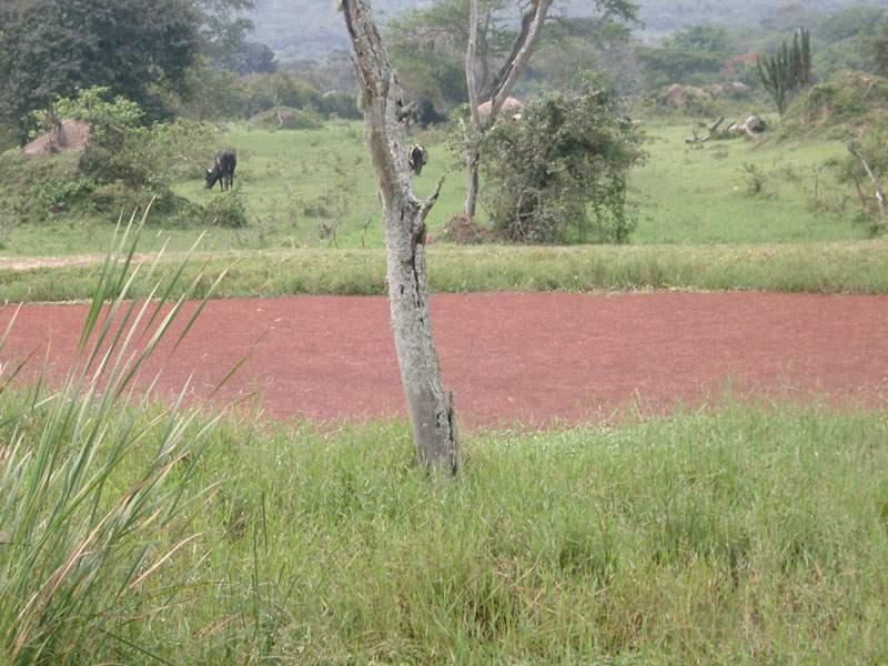 Azolla Covering Watering Pond Near Rushere Mbarara Uganda Photo Geoffrey Howard Iucn