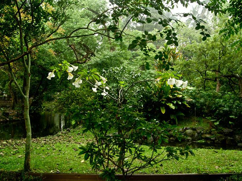 Factsheet brugmansia suaveolens angels trumpet brugmansia suaveolens plant photo shihchuan cc by nc sa mightylinksfo