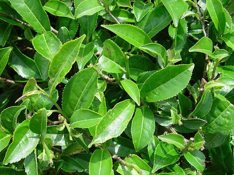 Factsheet camellia sinensis tea plant - Camelia planta ...