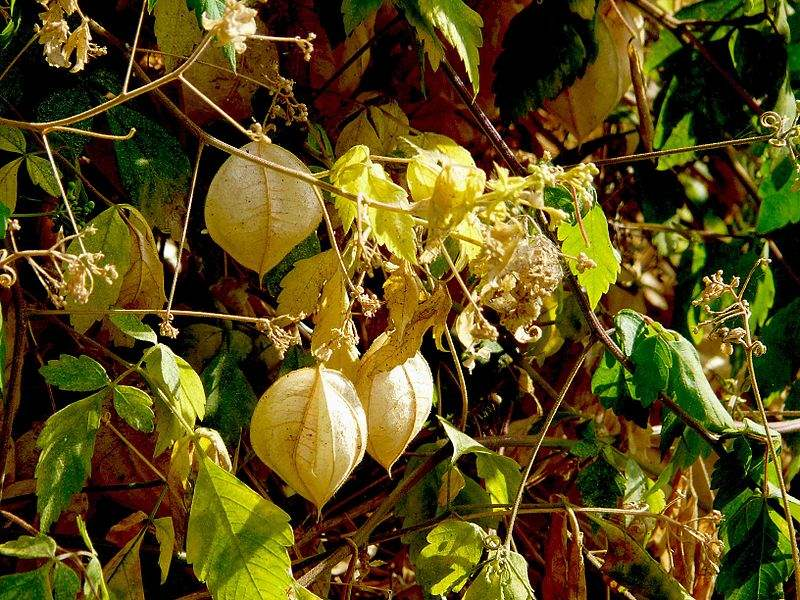 Factsheet Cardiospermum Grandiflorum Balloon Vine