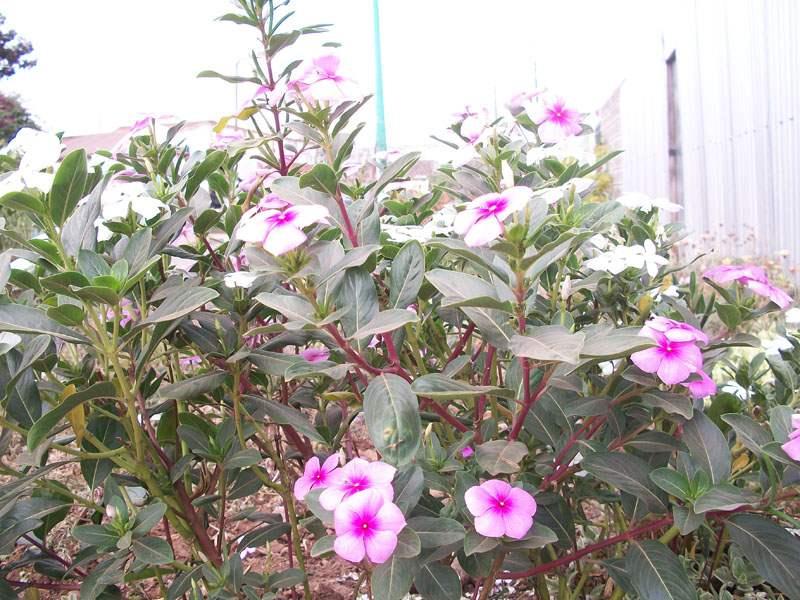 Factsheet - Catharanthus roseus (Madagascar Periwinkle)
