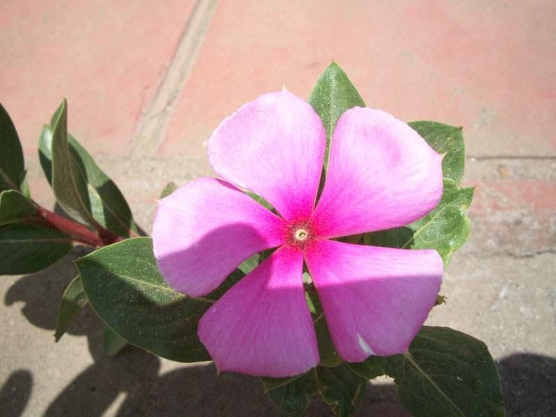 Factsheet catharanthus roseus madagascar periwinkle close up of pink folower photo emily wabuyele mightylinksfo