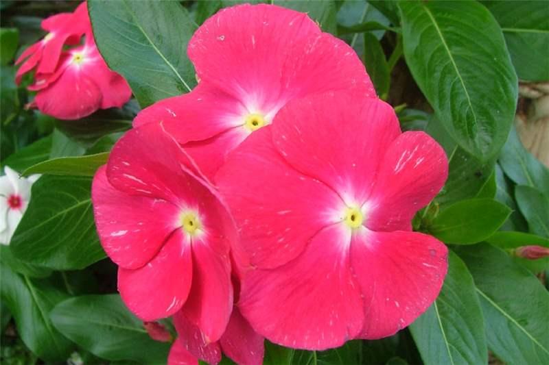 Factsheet Catharanthus Roseus Madagascar Periwinkle