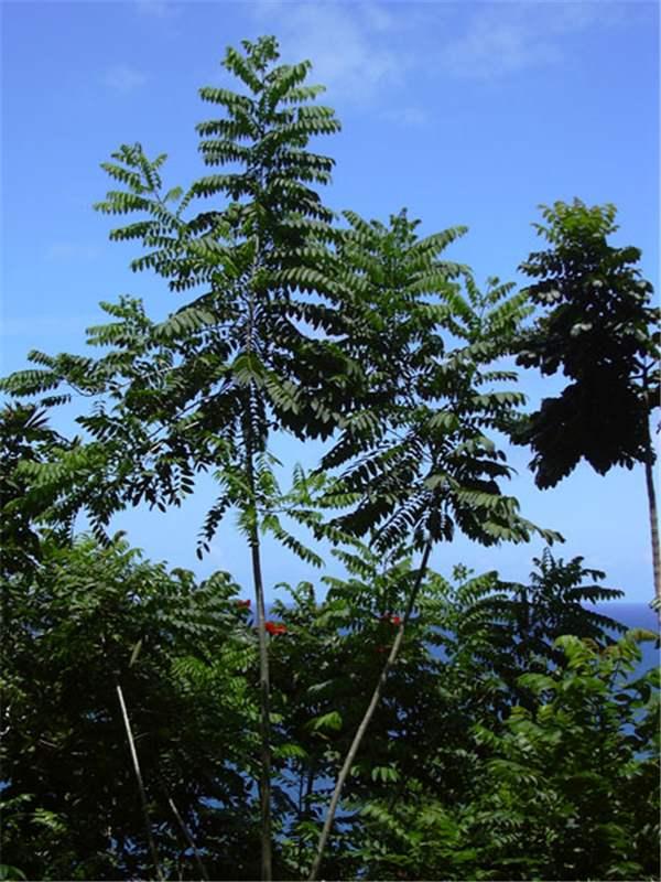 Factsheet - Cedrela odorata (Cedarwood)