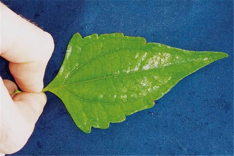 close-up of leaf  Photo  Land Protection  QDNRW Chromolaena Odorata Leaf