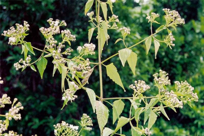Click on images to enlargeChromolaena Odorata Leaf