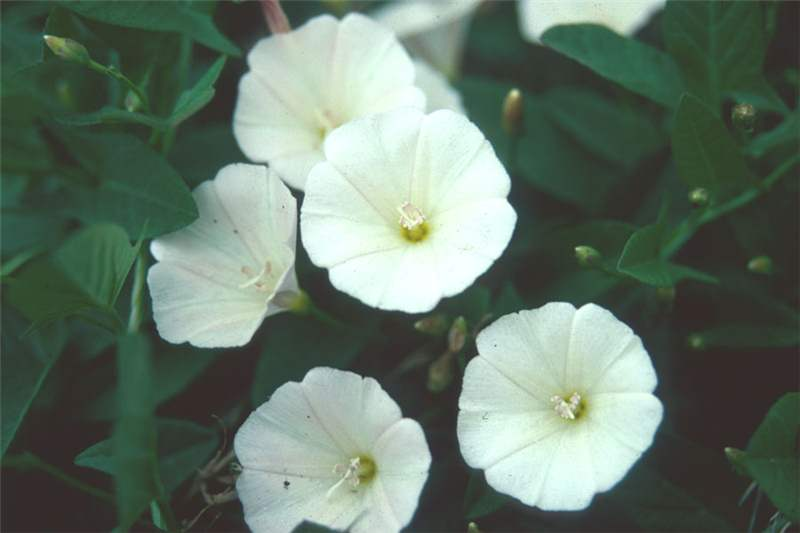 Factsheet convolvulus arvensis field bindweed white flowers photo steve adkins mightylinksfo