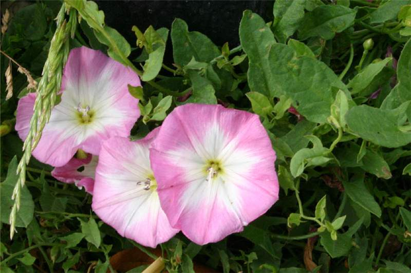 Factsheet convolvulus arvensis field bindweed pink flowers photo trevor james mightylinksfo