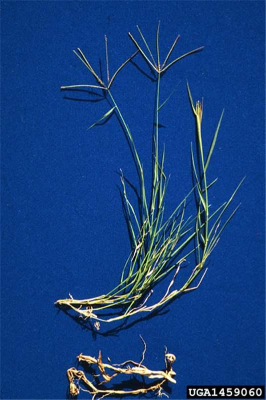 Factsheet Cynodon Dactylon Couch Grass