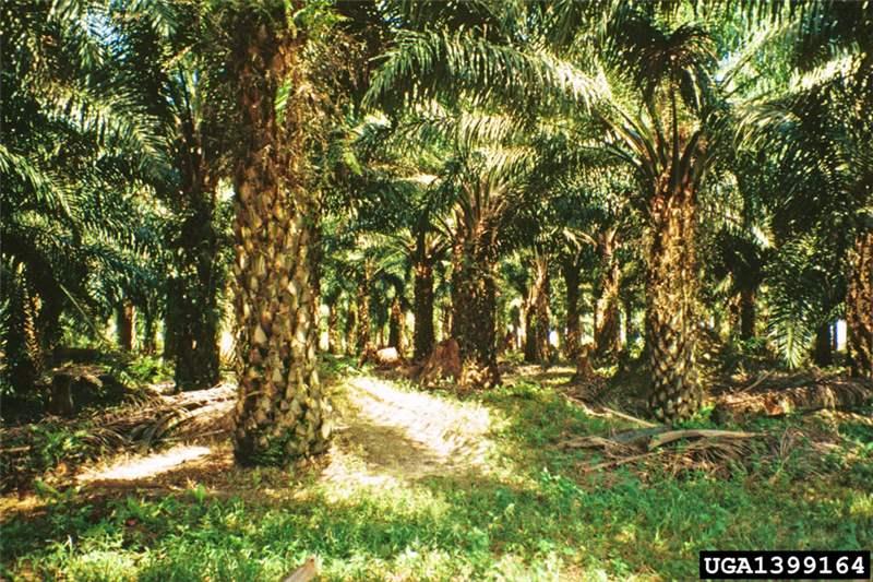Factsheet Elaeis Guineensis African Oil Palm