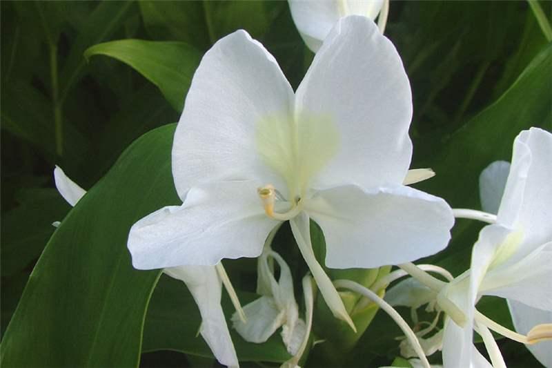 Factsheet hedychium coronarium white ginger close up of flower with white stamens photo sheldon navie mightylinksfo