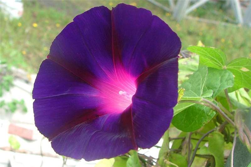 Factsheet ipomoea purpurea common morning glory for Ipomea purpurea