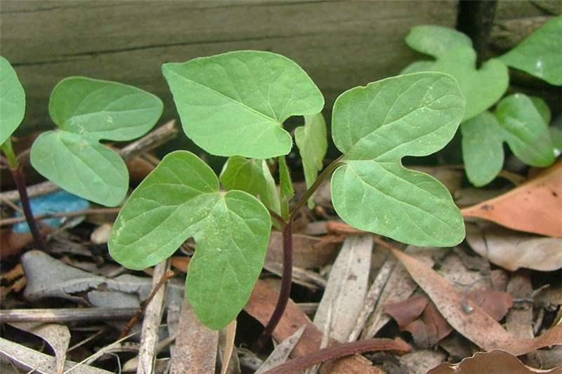 Factsheet Ipomoea Purpurea Common Morning Glory