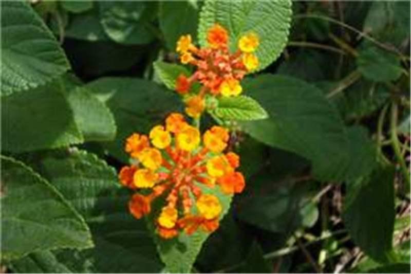 Factsheet lantana camara lantana orange flowered form photo sheldon navie ccuart Images