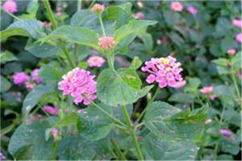 Factsheet lantana camara lantana flower clusters in the leaf forks photo sheldon navie ccuart Images