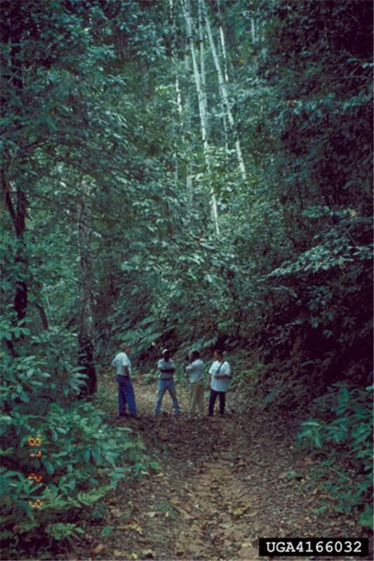 Factsheet Maesopsis Eminii Umbrella Tree