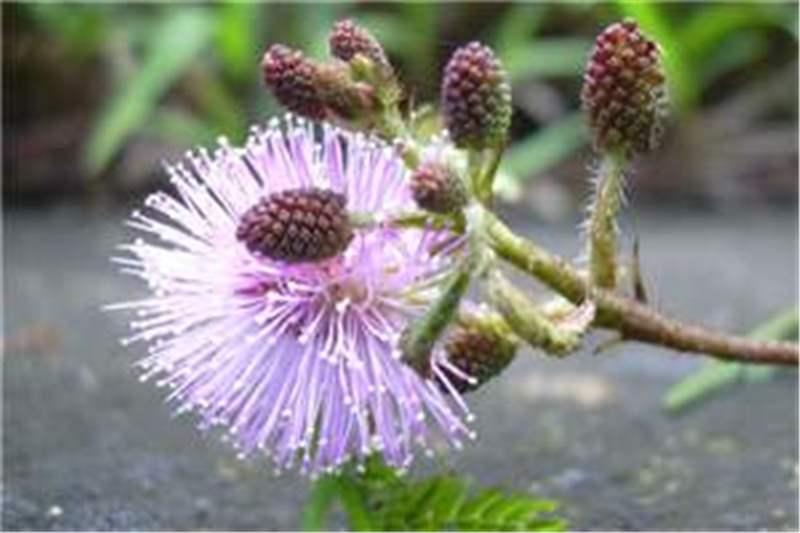 factsheet mimosa pudica common sensitive plant. Black Bedroom Furniture Sets. Home Design Ideas